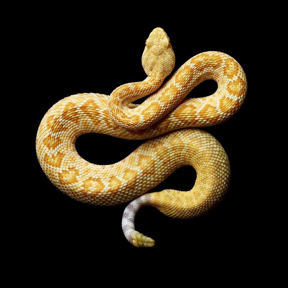 Albino Western Diamondback Rattlesnake